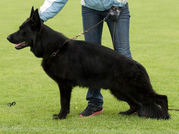 Черная немецкая овчарка Zilber Wasserfal Zhair